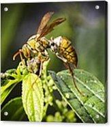 Taiwan Hornet Feeding On A Caterpillar Acrylic Print