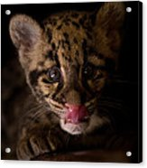 Taking A Licking Acrylic Print by Ashley Vincent