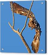 Taking Flight - Immature Bald Eagle Acrylic Print
