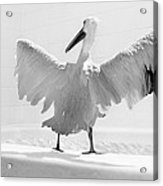 Taking The Plunge - Pelican - Bathroom Acrylic Print
