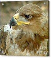 Tawny Eagle-11 Acrylic Print