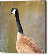 Talking Goose Acrylic Print