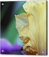 Tall Bearded Iris Named Final Episode Acrylic Print