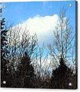 Tall Birch Acrylic Print