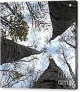 Tall Birches Acrylic Print