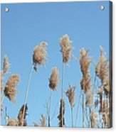 Tall Feathered Grass Hits Sky Acrylic Print