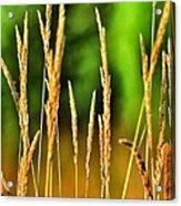 Tall Grain Acrylic Print