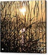 Tall Grass 1 Acrylic Print