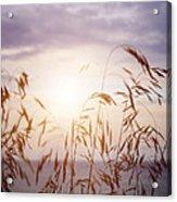 Tall Grass At Sunset Acrylic Print
