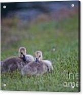 Cuddly Fury Babies Acrylic Print