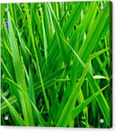 Tall Green Grass Acrylic Print