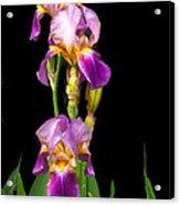 Tall Iris Acrylic Print