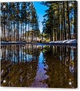 Tall Pines Acrylic Print