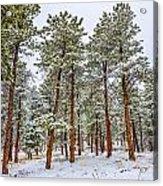 Tall Snowy Pines Acrylic Print