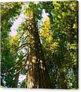 Tall Tall Trees Acrylic Print