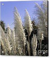 Tall Wispy Pampas Grass Acrylic Print
