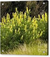 Tall Yellow Lupin Acrylic Print