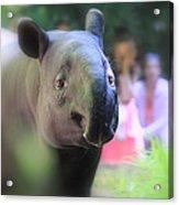 Tapir Acrylic Print