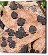Tar Spot Fungus On Sycamore Acrylic Print
