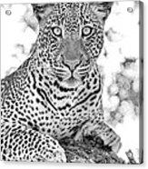 Tarangire Leopard Acrylic Print