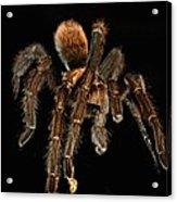 Tarantula Love  Acrylic Print