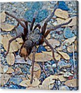 Tarantula Spider In Park Sierra Near Coarsegold-california Acrylic Print