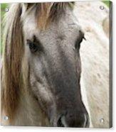 Tarpan Horse Acrylic Print