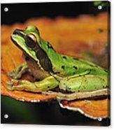 Tarraco Treefrog On Mushroom Costa Rica Acrylic Print