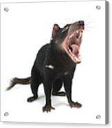 Tasmanian Devil Acrylic Print by Science Photo Library