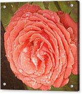 Tattered Rose Acrylic Print