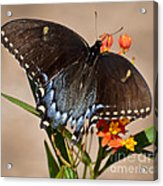 Tattered Tails Acrylic Print