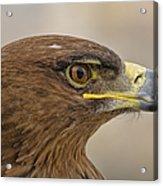 Tawny Eagle 3 Acrylic Print