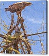 Tawny Eagle  Aquila Rapax Calling From  Acacia Bush Acrylic Print