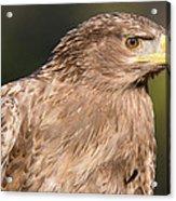 Tawny Eagle Portrait Acrylic Print