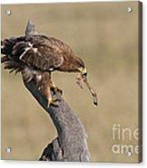 Tawny Eagle With Prey Acrylic Print