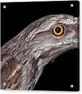 Tawny Frogmouth Acrylic Print