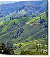 Tea Plantation In The Cameron Highlands Malaysia Acrylic Print