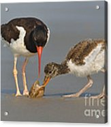 Teaching The Young Acrylic Print
