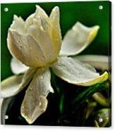 Tears Of A Flower Acrylic Print