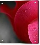 Tears On A Petal Acrylic Print by John Holloway