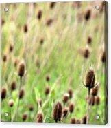 Teasel Meadow Acrylic Print