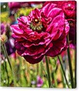 Tecolote Ranunculus Flowers By Diana Sainz Acrylic Print