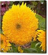 Teddy Bear Sunflower 2 Acrylic Print