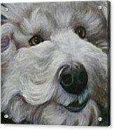 Teddy The Bichon Acrylic Print