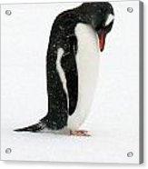 Telephone Bay- Antarctica Acrylic Print