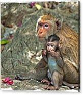Temple Monkeys Acrylic Print