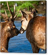 Tender Kiss. Deer In The Pamplemousse Botanical Garden. Mauritius Acrylic Print by Jenny Rainbow