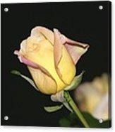 Tender Rose Acrylic Print