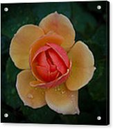 Tender Rose Acrylic Print