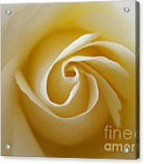 Tenderness White Rose 2 Acrylic Print